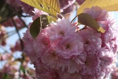 TPC-Pink-Blossom