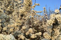 TPC-Spring-Hedge-Blossom