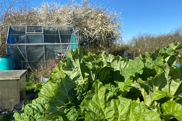 Tollesbury Parish Council, Allotments, Rhubarb Growing In Allotment