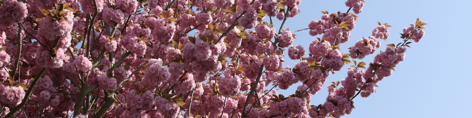 Tollesbury Parish Council, Clubs And Associations, Tree In Blossom