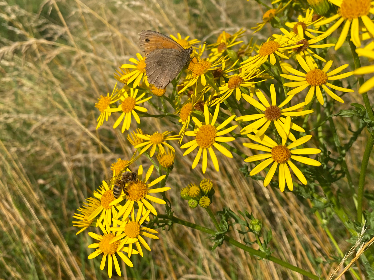 Tollesbury Parish Council, Meadow Flower And Butterfly