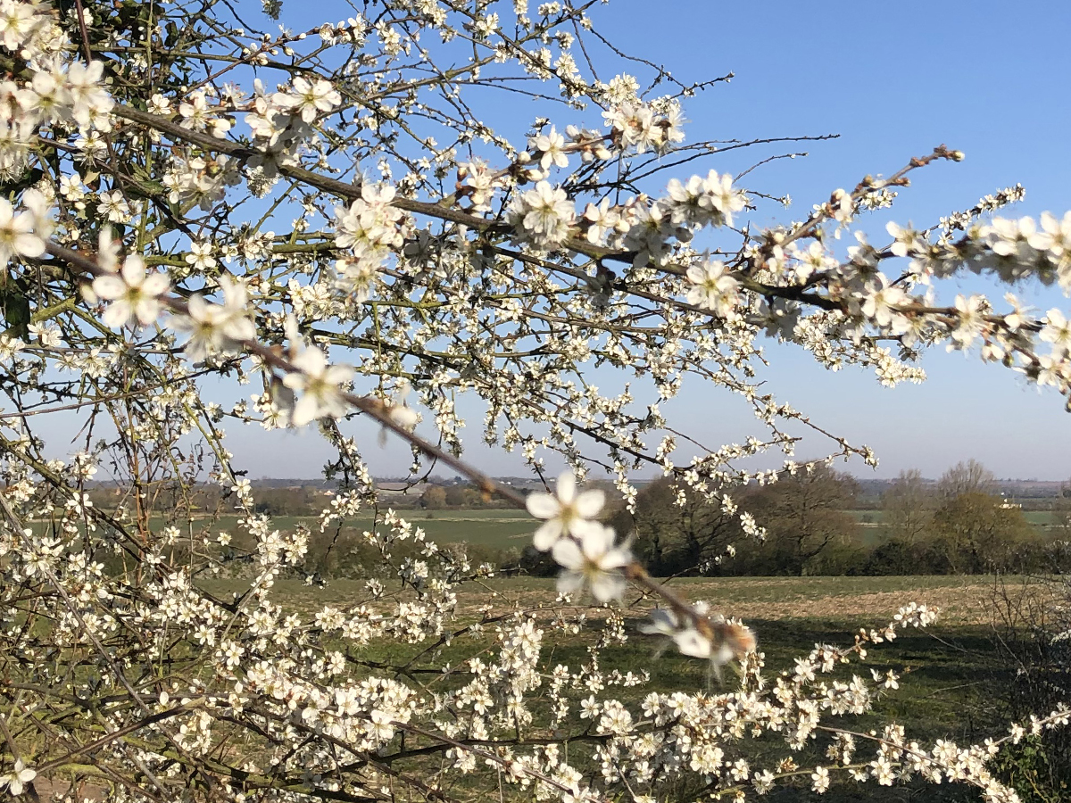 Tollesbury Parish Council, Covid-19 Update, Spring Blossom